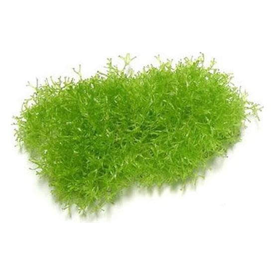 Akvaryum Bitkileri Riccia Moss Canlı Bitki 5 x 5 cm