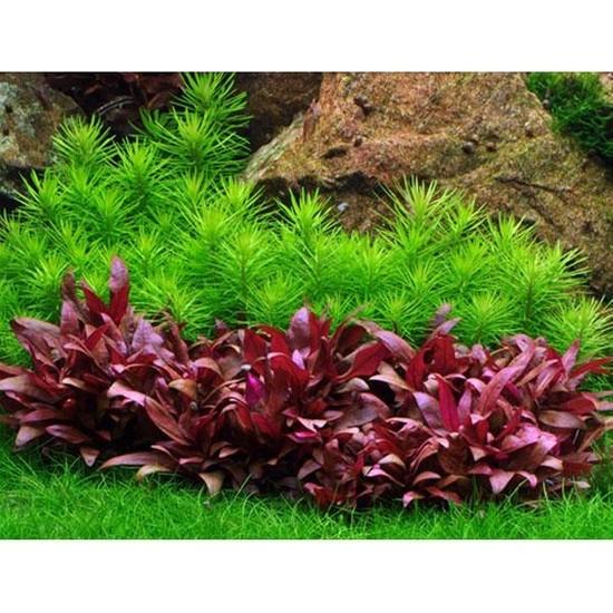 Alternanthera Reineckii Mini 4-5 Kök Saksı Canlı Bitki